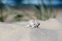 Seahell on the beach. A beautiful shell on a sand dune with the ocean and sky in the background royalty free stock photo