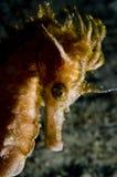 seahorse που σκάβεται με τη μουσούδα μακροχρόνιο Στοκ Φωτογραφία