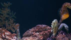 Seahorse στη μέση των κοραλλιών στο ενυδρείο Κίτρινο seahorse κινηματογραφήσεων σε πρώτο πλάνο που κολυμπά κοντά στα θαυμάσια κορ απόθεμα βίντεο