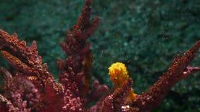 Seahorse στη μέση των κοραλλιών στο ενυδρείο Κίτρινο seahorse κινηματογραφήσεων σε πρώτο πλάνο που κολυμπά κοντά στα θαυμάσια κορ φιλμ μικρού μήκους