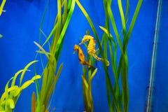 seahorse obrazy stock