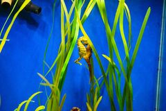 seahorse image stock