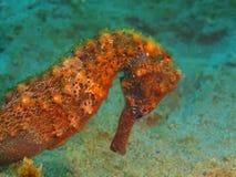 seahorse Royaltyfri Fotografi