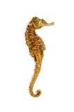 Seahorse fotografia stock libera da diritti
