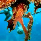 Seahorse Royalty Free Stock Photo