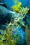 Seahorse Zdjęcia Stock