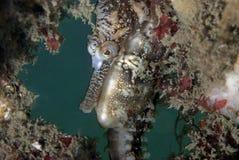 Seahorse Fotos de archivo