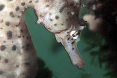 Seahorse Stock Afbeeldingen