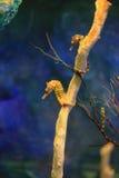 seahorse Image libre de droits
