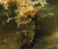 seahorse Royalty-vrije Stock Afbeelding