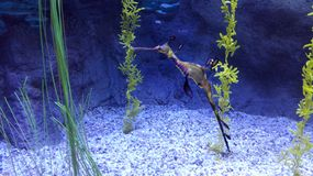 seahorse Image stock
