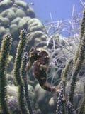 Seahorse Royalty Free Stock Photos