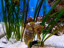 seahorse Immagini Stock Libere da Diritti