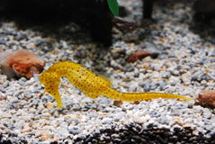 seahorse Photos stock