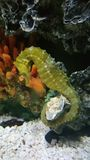 seahorse Fotografia Stock