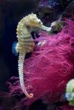 Seahorse allineato Fotografie Stock Libere da Diritti