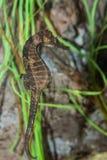 Seahorse allineato Immagini Stock