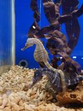 Seahorse in an aquarium stock photo