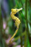 Seahorse close up Stock Images