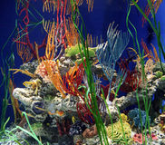 Seahorse within Coral. Aquarium display royalty free stock image