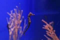 Seahorse on the coral background royalty free stock photo