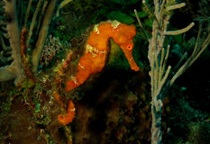Seahorse on coral reef. Orange seahorse in Roatan, Honduras, hanging out on the coral reef stock photography
