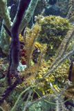 Seahorse, der in der Koralle hidding ist Stockbild