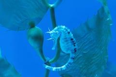 Seahorse des dicken Bauchs Stockbilder