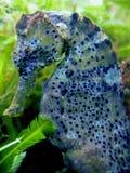 Seahorse di Longsnout fotografie stock libere da diritti