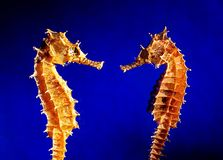 seahorse dwa Fotografia Royalty Free