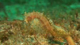 Seahorse when eating stock footage