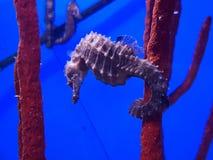 Seahorse in een aquarium stock afbeelding