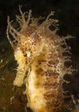 Seahorse en el brava mediterráneo, de la costa en el primero plano y con el fondo negro imagen de archivo