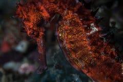 Seahorse espinoso rojo fotos de archivo
