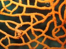 seahorse för denise hippocampuspygmy Royaltyfria Foton