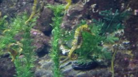 Seahorse fish swimming in big aquarium. Between rocks and plants. Underwater wildlife. Closeup view stock video