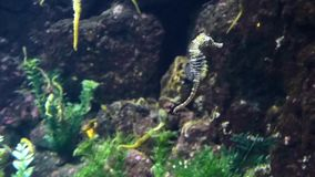 Seahorse fish swimming in big aquarium. Between rocks and plants. Underwater wildlife. Closeup view stock footage