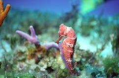 Seahorse fora do cozumel Fotografia de Stock