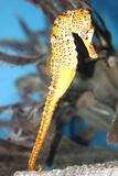 Seahorse giallo Fotografia Stock Libera da Diritti