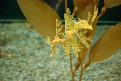 Seahorse. A golden seahorse evolved to blend into the seaweed Stock Photography