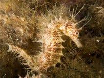 Seahorse in het Middellandse-Zeegebied, costabrva stock fotografie