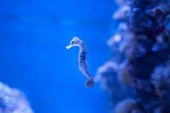 Seahorse, Hippocampus dopłynięcie w oceanie fotografia stock