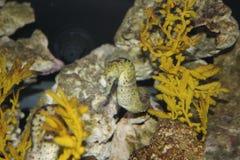 Seahorse. (Hippocampus spp.) in aquarium Stock Image