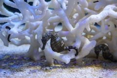 Seahorse, Hippocampus swimming royalty free stock photography
