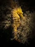 Seahorse - Hippocampus taeniopterus Zdjęcie Stock