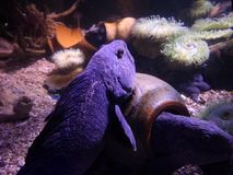 Seahorse i korale podwodni zdjęcie stock