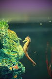 Seahorse. The image of beautiful seahorse in an aquarium. Seahorse is the name given to 54 species of small marine fishes in the genus Hippocampus. Hippocampus Stock Photography