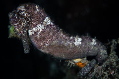 Seahorse in Indonesia. A well-camouflaged seahorse (Hippocampus kuda) clings to the seafloor with its prehensile tail in Raja Ampat, Indonesia Stock Images