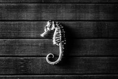 Seahorse. Royalty Free Stock Images