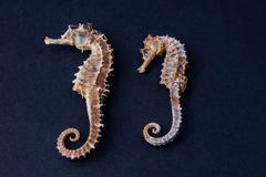 Seahorse. 2 little seahorses found on an italian beach Royalty Free Stock Images